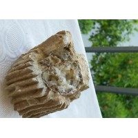 Silisleşmiş Ağaç - Koleksiyonluk Ağaç Fosili